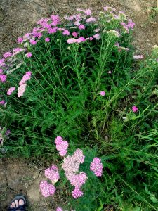 yarrow falling down after blooming