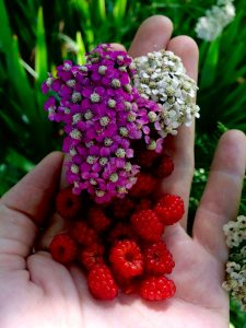yarrow and wild raspberries